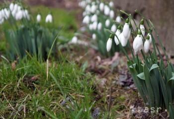 Snežienka jarná už tento rok ukázala svoju krásu