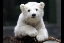 Anori, nevlastná sestra známeho medveďaKnuta