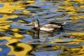 V pezinskom Zámockom parku evidujú zvýšený úhyn divých kačiek