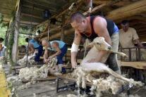 Strihanie oviec