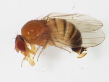 Vedci Prešovskej univerzity zaznamenali nový druh muchy
