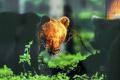 Medvedia ruja je od polovice apríla do júla