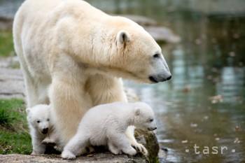 Medzinárodný deň medveďa bieleho vyzýva na ochranu tohto mäsožravca