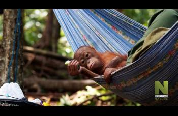 Kde ešte môžete dnes stretnúť orangutana zoči voči?