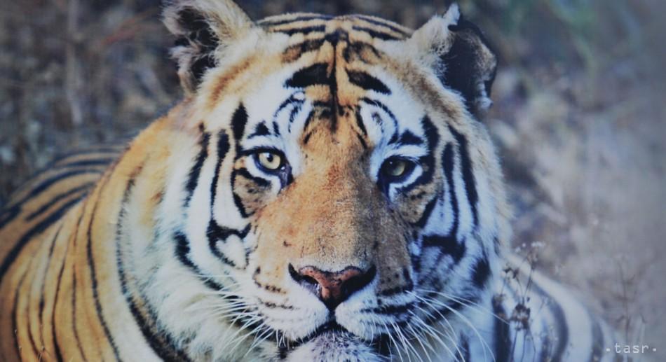Tigre napadli dve návštevníčky safari parku v Pekingu, jednu zabili