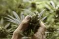 Poľsko zlegalizovalo marihuanu na liečebné účely. Ale iba na recept