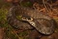 Vedci objavili v Európe nový druh hada, v tíme bol aj Slovák