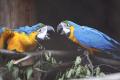 VIDEO: V Zoologickej záhrade Košice sa vyliahli mláďatá ary modrožltej