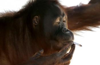 TOP zvieracie príbehy: Orangutan fajčiar, zamilovaný býk