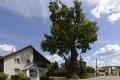 Starý dub v obci Dubinné prežil požiar, vojny i modernizáciu dediny