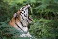 Tiger zabil opatrovateľku v zoo v Anglicku