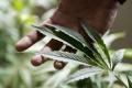 Holandsko pootvorilo dvere legálnemu pestovaniu a predaju marihuany