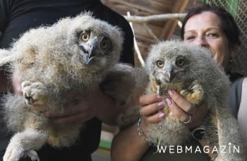 Prvenstvo košickej zoo: Odchovali mláďatá výra západosibírskeho