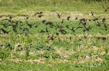 Vtáky už odlietajú do teplých krajín, niektoré denne preletia 500 km