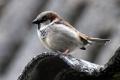 Ekológovia už desať rokov upozorňujú svetovým dňom na úbytok vrabcov