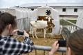 Žiaci si na mliečnej farme v Zborove pozreli svoje adoptované kravy