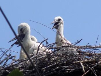 Pomôžte nám spočítať bocianov, vyzývajú verejnosť ornitológovia