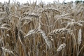 V Humennom dosiahli úrodu obilninín v priemere 3,12 tony na hektár