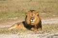 Lovec trofejí zastrelil v Zimbabwe potomka známeho leva Cecila