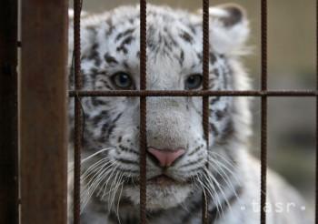 Chovať tigra by už nemalo byť také jednoduché