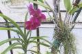 Nitra: Botanická záhrada SPU predstavuje krásu orchideí