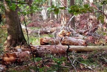 Výskum smrekových pralesov našiel aj stromy pamätajúce éru Jánošíka