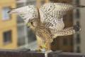Na Katolíckej univerzity pribudla hniezdna podložka pre sokola