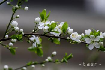 Na snímke kvitnúci ker trnky obyčajnej medzi obytnými domami v Starom meste v Bratislave 19. marca 2019.