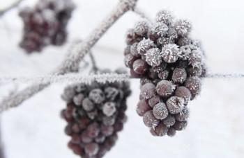 Prvá mrazivá noc priala zberu ľadového vína