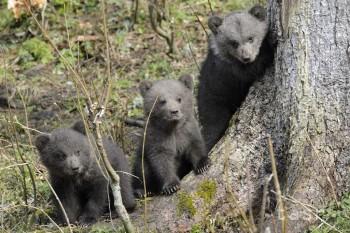 Medvedie mláďatá prichádzajú na svet od konca decembra až do februára