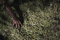 V Taliansku sa konal protest proti presádzaniu olív kvôli plynonodu