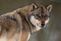 Ochranári budú presadzovať nulovú kvótu na lov vlka dravého