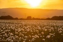 Rozkvitnuté makové pole