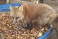 LIKE DŇA: Líška vás naučí, ako sa tešiť z jesene