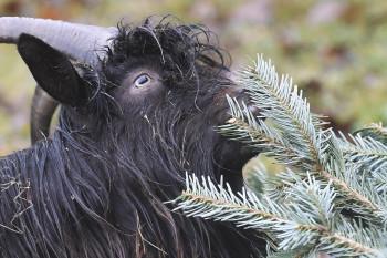 Zvieratá v košickej zoo si pochutnávajú na vianočných stromčekoch