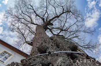 Korvínova 700-ročná lipa odolala zemetraseniu i bleskom
