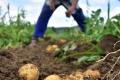 Pestovatelia zemiakov sú s výsledkami tejto sezóny zatiaľ spokojní