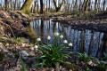 Populácia bledule jarnej karpatskej vo Vihorlate sa zmenšila