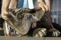 Najškaredším psom roku 2017 je neapolský mastiff Martha