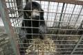 Kuriózna smrť: Medveď vypadol zo siete pri prevoze vrtuľníkom