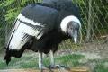 V košickej zoo pribudla samica kondora, obýva novú voliéru