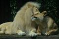 Ochranári zachránili 33 levov týraných v cirkusoch v Kolumbii a Peru