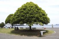 Uvoľnenie zo zeme neznamená pre strom slobodu.