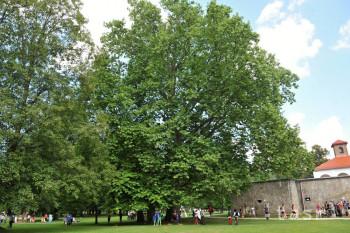 Platan javorolistý je ozdobou parku pri Budatínskom hrade