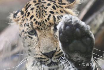 V košickej zoo možno po 30 rokoch opäť obdivovať leoparda čínskeho