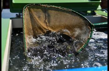 Do Hrona vypustili tisícky rýb