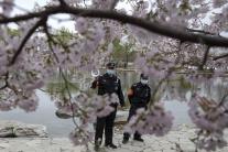 V Číne už kvitnú čerešne