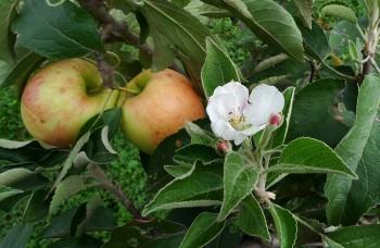 Dokonalosť jablka vám ochráni zdravie a postará sa o líniu