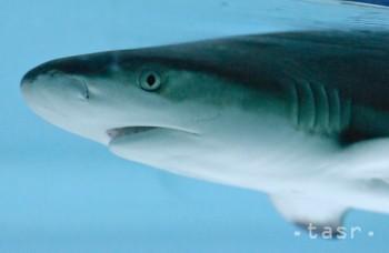 Žralok sa vymrštil nad hladinu a uchmatol rodine z vlasca ulovenú rybu