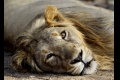 JAR schválila napriek kritike vývoz 800 kostier levov
